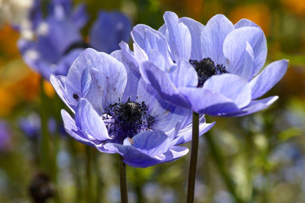 niebieskie kwiaty wiosenne