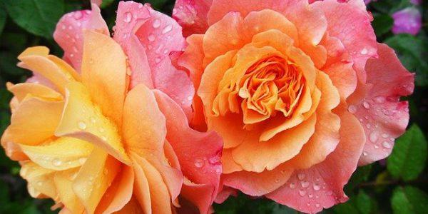 niewymagające kwiaty doniczkowe